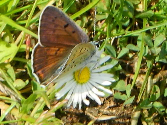 Violetter Feuerfalter (Lycaena alciphron)